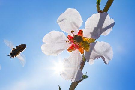 abeille pollinisatrice sur fleur